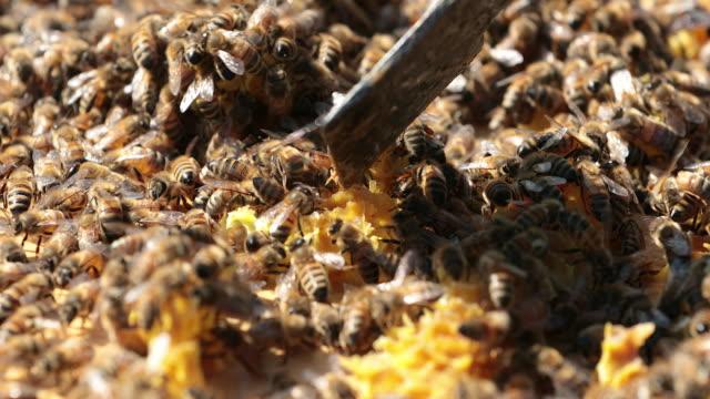 vidéos et rushes de abeilles sur nid d'abeille close up - reine monarque