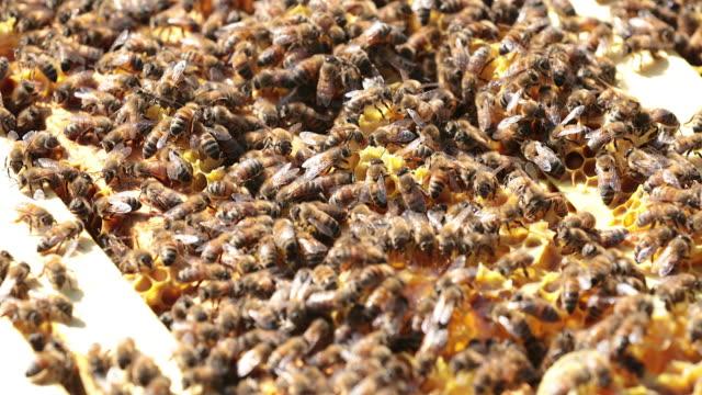 vídeos de stock, filmes e b-roll de abelhas no favo de mel close-up - abelha obreira