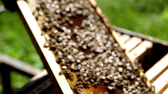 bees auf Bienenwaben frame
