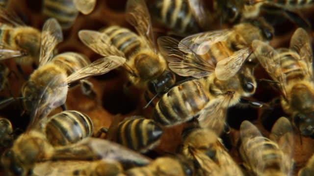 vídeos de stock, filmes e b-roll de abelhas em favo de mel-hd, ntsc - animal de trabalho