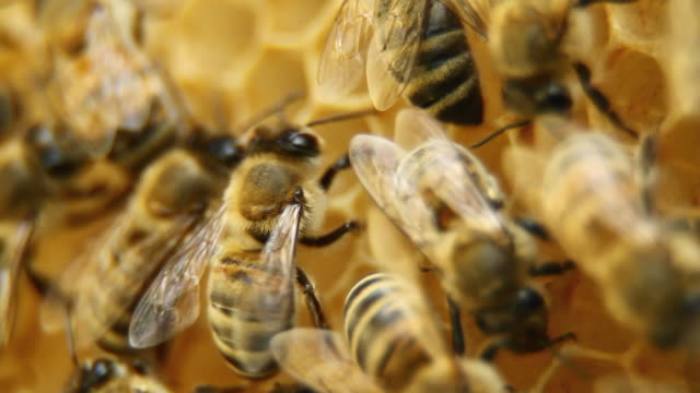 stockvideo's en b-roll-footage met bees on honeycomb - hd, ntsc - colony