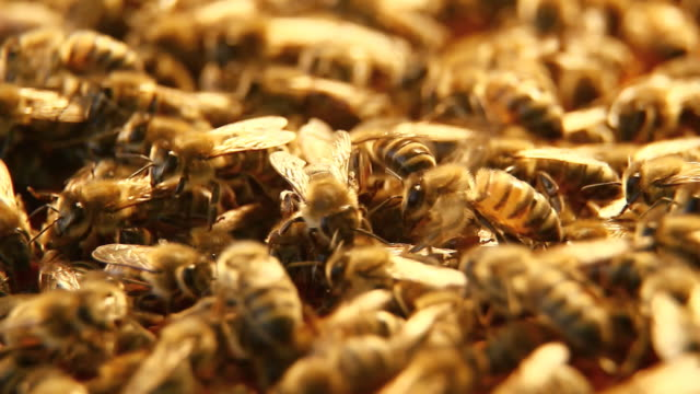 stockvideo's en b-roll-footage met bees on honeycomb - hd - honingbij