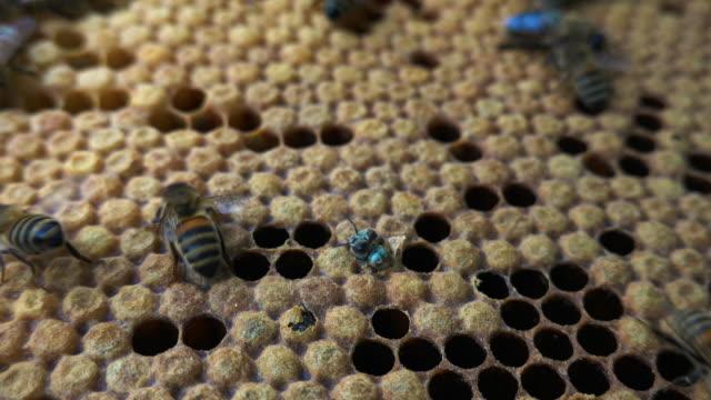 vídeos de stock, filmes e b-roll de bees on honeycomb - abelha obreira