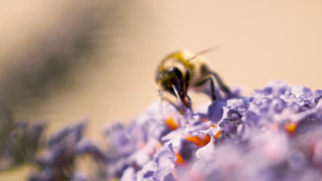 Bees on lavender in slow motion