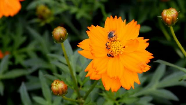 Bees on Orange Flower