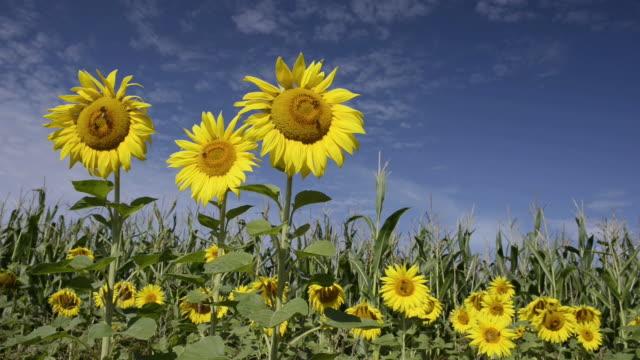 vídeos de stock e filmes b-roll de ms tu bees on sunflowers at corn field / landshut, bavaria, germany    - estame