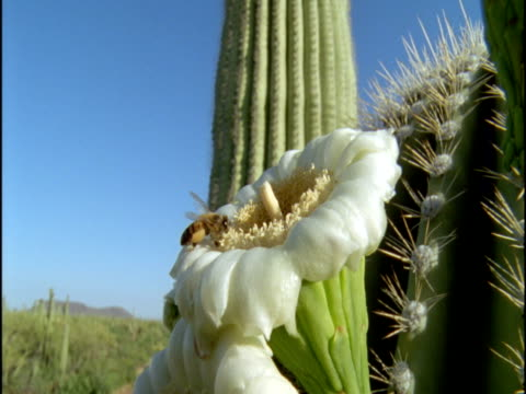 bees pollinate saguaro cactus flowers in sonoran desert, arizona, usa - cactus video stock e b–roll