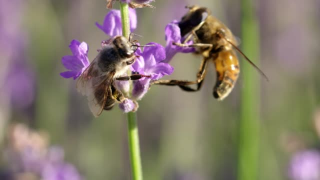 cu bees pollinating purple lavender - two animals stock videos & royalty-free footage