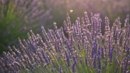 Bees suck honey dew from purple fragrant lavender flowers during sunset on lavender fields in Provence, France. Light wind. UHD