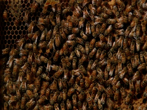 vídeos y material grabado en eventos de stock de bees swarm in a hive. - artrópodo