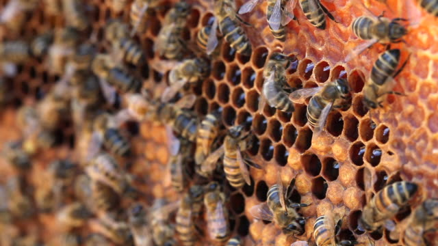vidéos et rushes de abeilles. - ruche