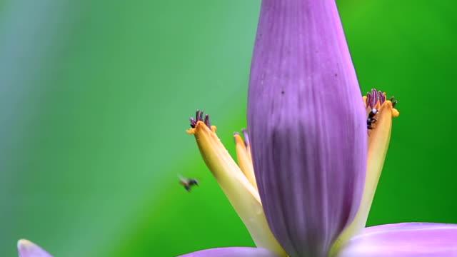 vídeos de stock, filmes e b-roll de abelhas - banana de são tomé