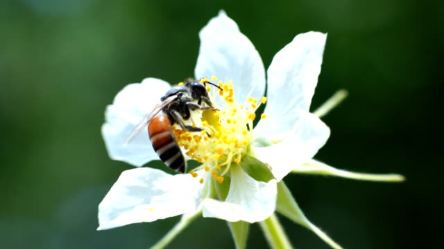 bees whose flowers are blooming in the morning - pistil stock videos & royalty-free footage