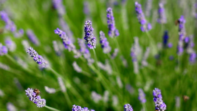 bees working on lavender field. pollination - lavender stock videos & royalty-free footage