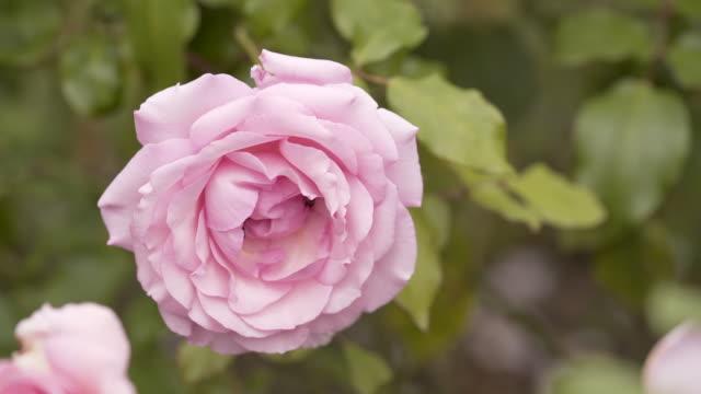 bees working very hard in a rose garden - ståndare bildbanksvideor och videomaterial från bakom kulisserna