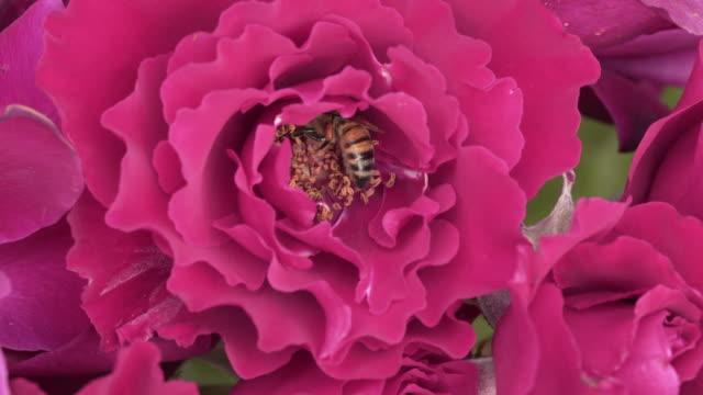 vídeos de stock, filmes e b-roll de bees working very hard in a rose garden - animal de trabalho