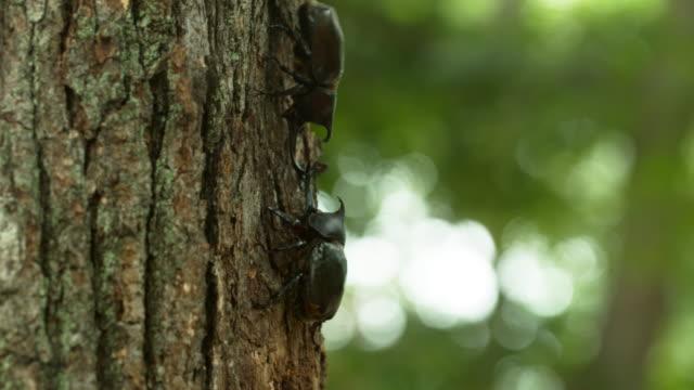 vídeos de stock, filmes e b-roll de a beetle and insects on a tree at korea national arboretum (gwangneung forest) / pocheon-si, gyeonggi-do, south korea - posição de combate