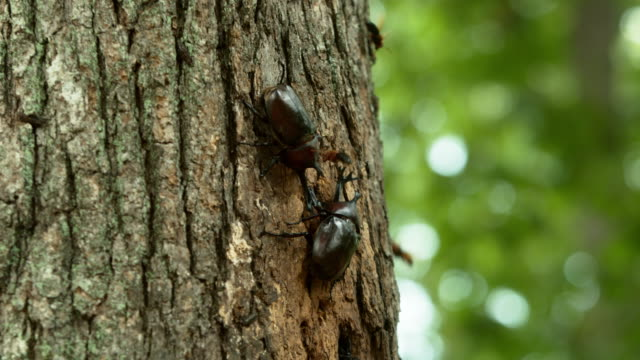 beetle and vespa ducalis fighting on a tree at korea national arboretum (gwangneung forest) / pocheon-si, gyeonggi-do, south korea - ファイティングポーズ点の映像素材/bロール