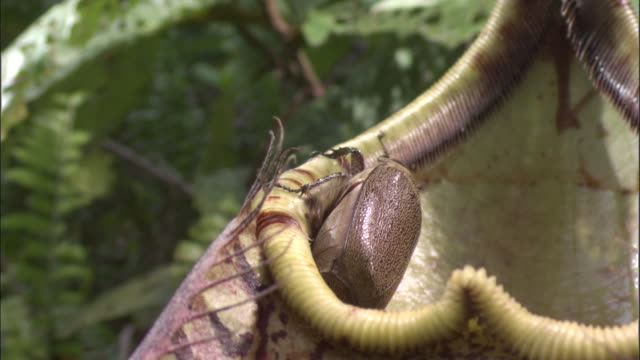 vídeos de stock, filmes e b-roll de beetle clambers on rim of pitcher plant urn, borneo - carnivorous plant