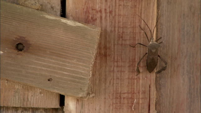 stockvideo's en b-roll-footage met a beetle climbs up the side of a wooden building. available in hd. - ongewerveld dier