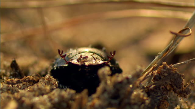 a beetle crawls out of a hole. - animal antenna stock videos & royalty-free footage