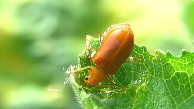skalbaggen äta växters blad - skadedjur bildbanksvideor och videomaterial från bakom kulisserna