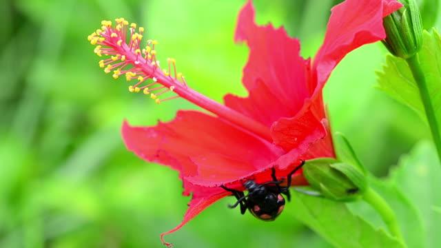 vídeos y material grabado en eventos de stock de escarabajo comer flor roja - escarabajo de cuerno largo