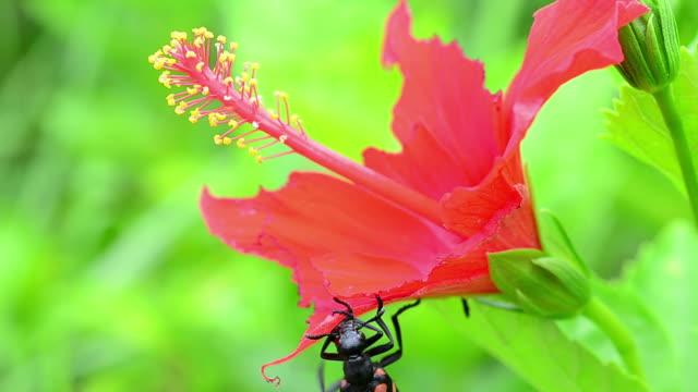 vídeos de stock e filmes b-roll de escaravelho comer flor vermelha - quatro animais