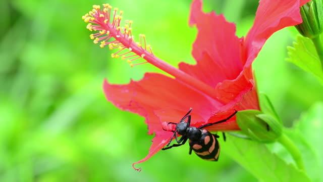 vídeos de stock, filmes e b-roll de besouro comendo red flower - pistilo