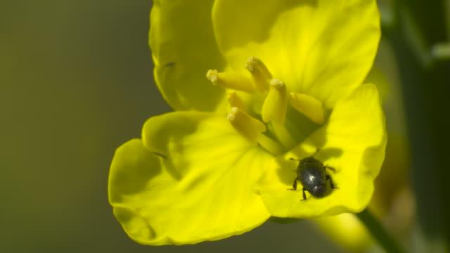 beetle enters oilseed rape flower in field, uk - insect stock videos & royalty-free footage