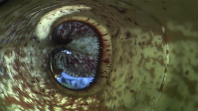 vídeos y material grabado en eventos de stock de beetle falls into pitcher plant urn, borneo - planta pitcher