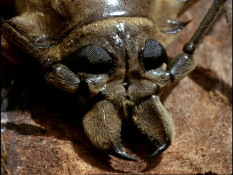 vídeos y material grabado en eventos de stock de beetle, cu head with large jaws and compound eyes, england - escarabajo de cuerno largo