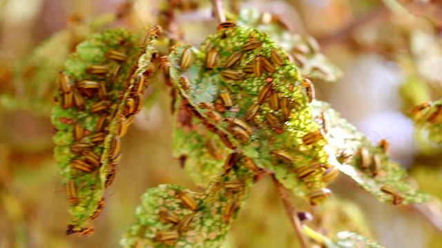beetle infestation -  xanthogaleruca luteola - infestation stock videos & royalty-free footage