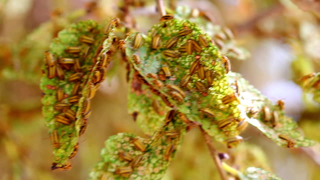 käfer schädlingsbefall – xanthogaleruca luteola - infestation stock-videos und b-roll-filmmaterial