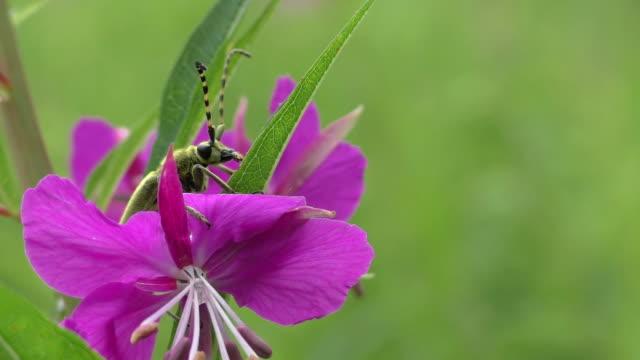 Beetle monochamus motionless in the flowers