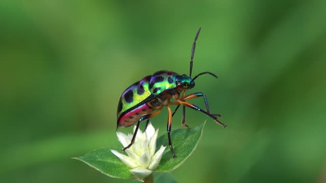 beetle on a flower - primissimo piano video stock e b–roll