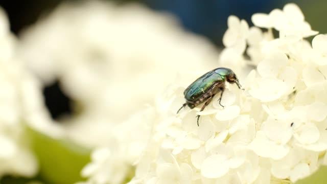 beetle on chrysanthemum - pest stock videos & royalty-free footage