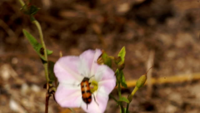 käfer auf blüte - tierfarbe stock-videos und b-roll-filmmaterial