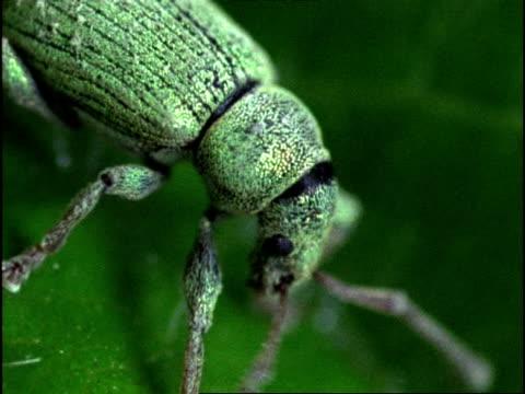 vídeos y material grabado en eventos de stock de beetle, ecu side view, england - escarabajo de cuerno largo