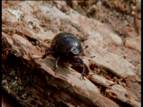 beetle stands on bark and shakes head from side to side, finland - animal antenna stock videos & royalty-free footage