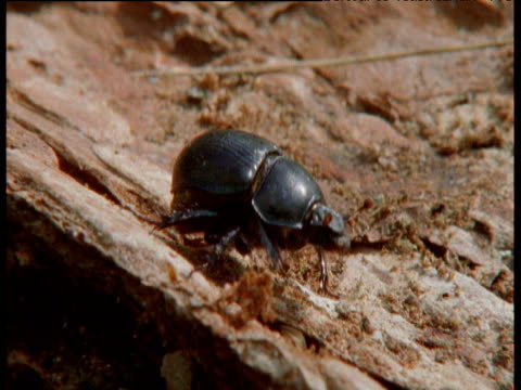 beetle takes off from bark, finland - invertebrate stock videos & royalty-free footage