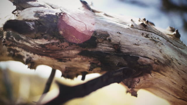 stockvideo's en b-roll-footage met beetle walking in the sun on tree. - drijfhout