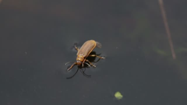 Beetle walks on submerged blade of grass