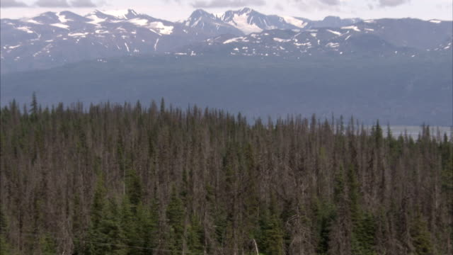 beetle-killed trees mingle with live spruce trees in a forest on a hill. - spruce stock videos & royalty-free footage