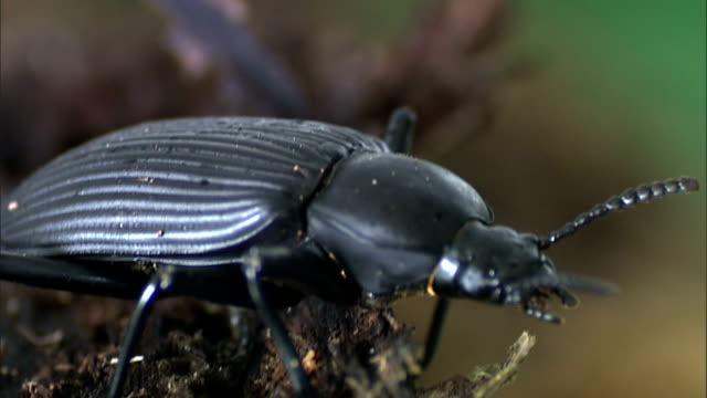 a beetle's antennae twitch as it stands in the dirt. - animal antenna stock videos & royalty-free footage