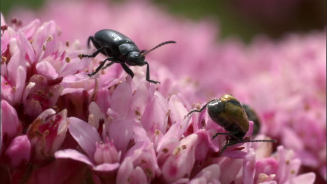 beetles (coleoptera) clamber over wild flowers, kitulo, tanzania - pollination stock videos & royalty-free footage