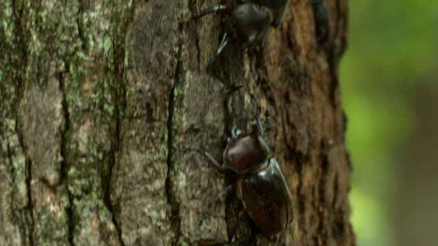 vídeos de stock, filmes e b-roll de beetles fighting on a tree at korea national arboretum (gwangneung forest) / pocheon-si, gyeonggi-do, south korea - posição de combate