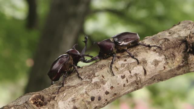 vídeos de stock, filmes e b-roll de a beetles fighting on a tree at songgwangsa temple / suncheon-si, jeollanam-do, south korea - posição de combate