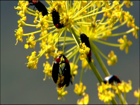 beetles on umbelliferous plant, close up, parque natural los alcornocales (cadiz y malaga), andalucia, spain - parque natural stock videos and b-roll footage