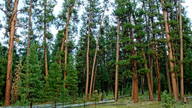 before and after canyon creek complex fire in malheur national forest oregon ponderosa pine in 2014 before burn - national forest stock videos and b-roll footage